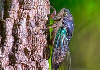 Cicada On Tree Trunk