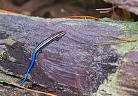 Juvenile Five lined Skink On Log