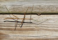 Walking Stick Insect On My Deck