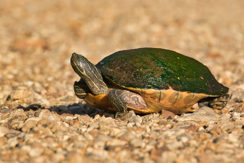 Eastern River Cooter