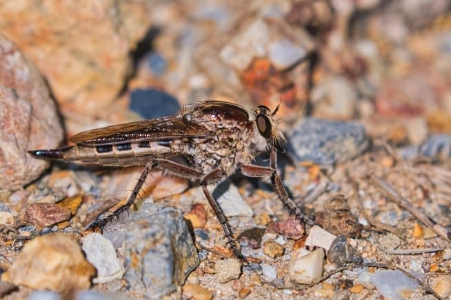 Robber Fly On Rocks